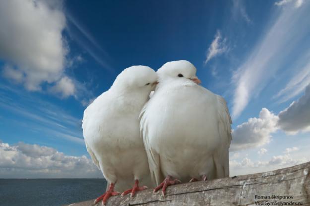 Закохані голубки